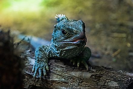 A tuatara in New Zealand.