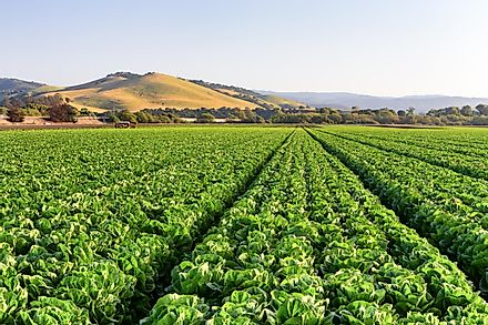A field of lettuce in the Salinas Valley.
