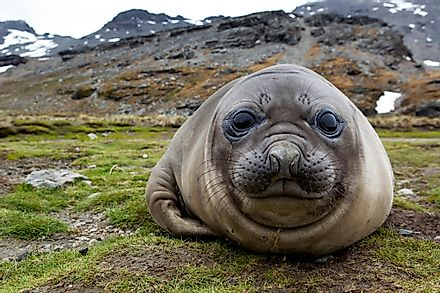 A young elephant seal on a beach.