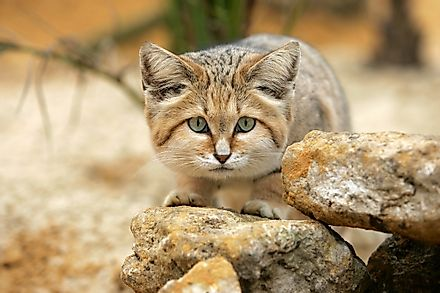A sand cat in the Arabian Desert. Image credit: slowmotiongli/Shutterstock.com