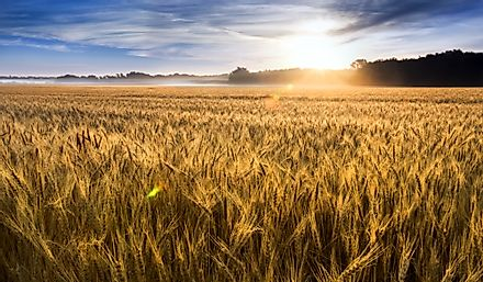 Wheat field in central Kansas, United States.