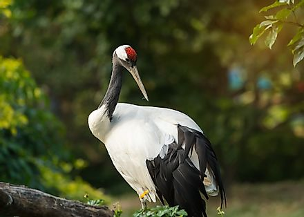 National Bird of The People's Republic of China - Red-crowned Crane