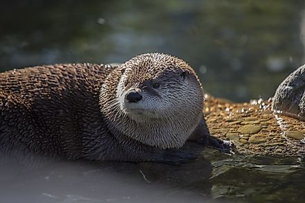 The semi-aquatic North American River otter is a proficient swimmer and catcher of fish.