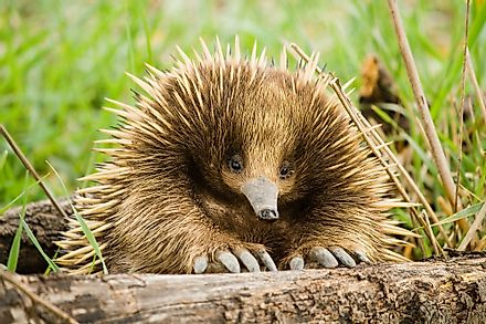 The echidna is a type of mammal that lays eggs.