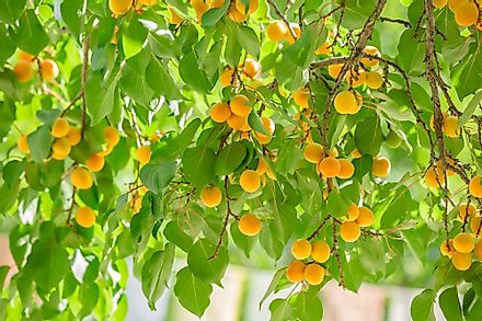 Apricots are best harvested during the summer when their skin is golden.
