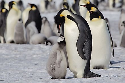 Emperor Penguin feeding its chick at Snow Hill Emperor Penguin Colony, Antarctica. Image credit:  Robert Mcgillivray/Shutterstock.com