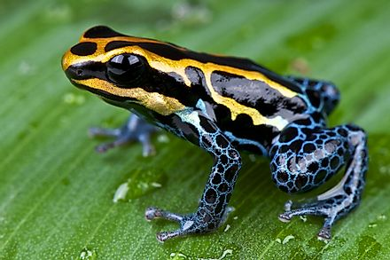 Poison dart frogs are native to Brazil.