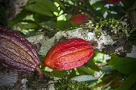 Cacao tree with ripening fruits. The fruits are filled with the cocoa beans from which chocolate and cocoa products are sourced.