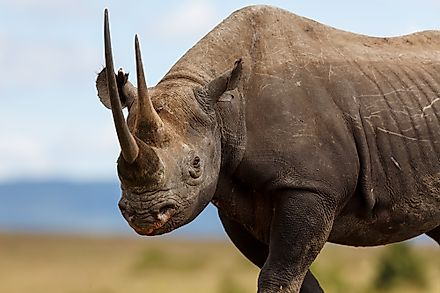 The African black rhino can be found in Kenya.