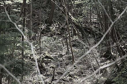 Mysterious wilds of the Aokigahara Forest.