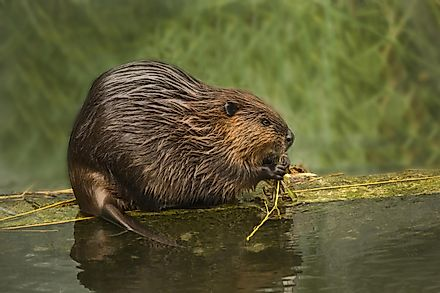 Beavers are complex creatures and are considered ecosystem engineers.