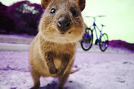 Quokkas aren't afraid of humans and are known to approach them.