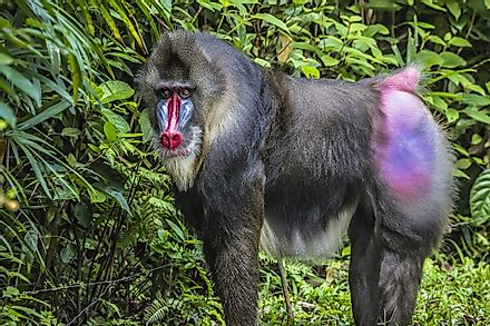 Mandrills display vibrant colors on their faces and rumps.