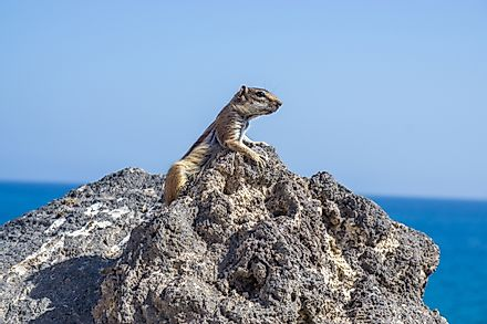 The Barbary Ground Squirrel is found in Morocco.