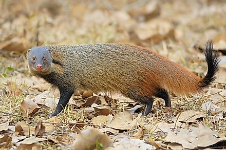 Stripe-necked mongoose.