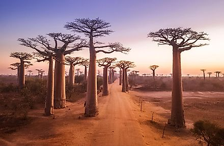 The road running through the Baobab Alley of Madagascar.