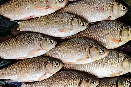 Silver carp is one of the types of fish that can be found in China.