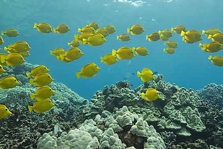 Yellow Tangs are known for their bright yellow coloring.