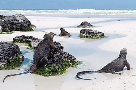 Galapagos Marine Iguanas on a beach in Tortuga Bay on Santa Cruz Island, Galapagos. Image credit: Discover Marco/Shutterstock.com