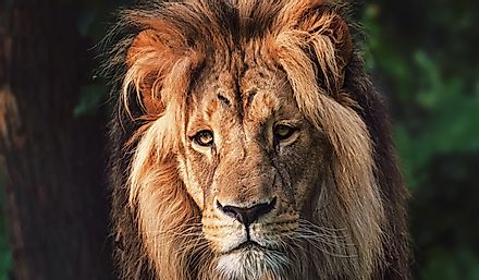 Large, adult, Southwest African Lion male with characteristic thick mane.