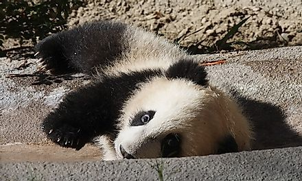A baby giant panda looks curiously at the camera while playing.