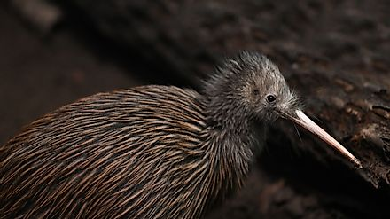 North Island brown kiwi. Image credit: Lakeview Images