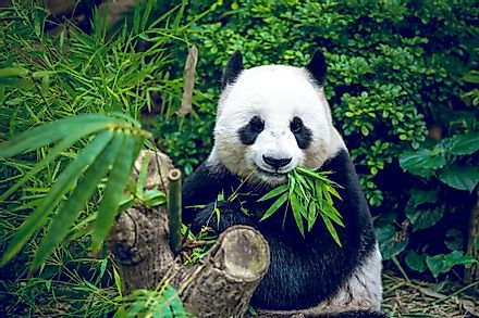 National Animal of The People's Republic of China - Giant Panda