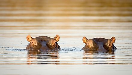 Hippopotamus spend the majority of the day in water.