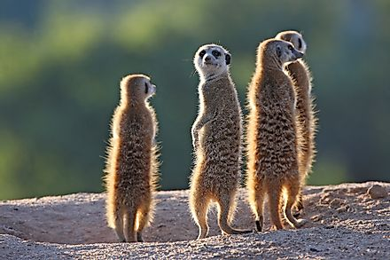 A group of meerkats. Image credit: Erwin Niemand/Shutterstock.com