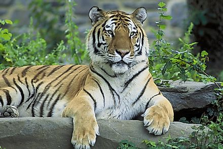 Thousands of tourists visit India every year to witness the majestic tigers in action in the forests of the country.