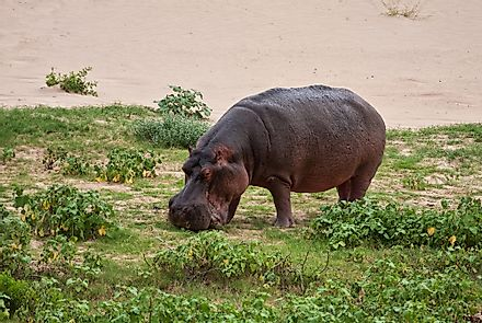 Hippos mainly feed on the short grass that surrounds their aquatic habitat.
