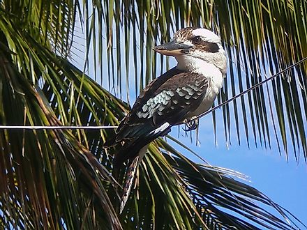 A Kookaburra hanging out in a palm tree along the beaches of Papua New Guinea.