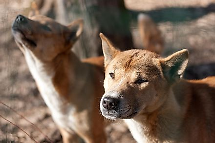 New Guinea singing dogs. This species was earlier believed to be extinct. Image credit: Aubord Dulac/Shutterstock