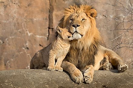 A male lion with his tiny cub, connected by a unique bond of nature.