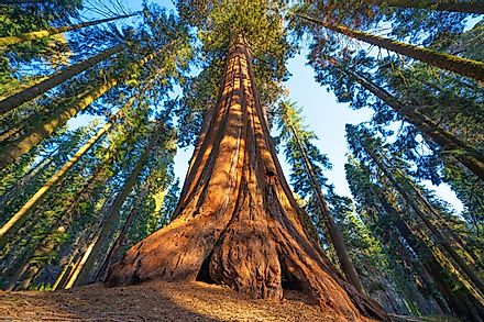 Famous Sequoia park and giant sequoia tree at sunset.