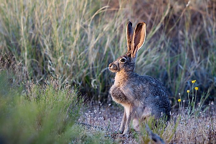 Jack rabbits can be found in Goblin Valley State Park.
