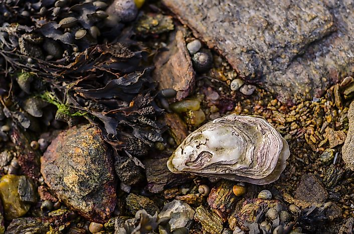 Oyster Facts: Animals of the Oceans