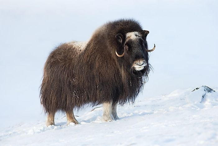 Animals That Live in the Tundra - WorldAtlas com