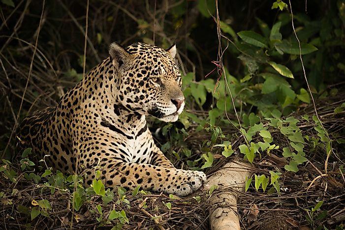 amazon rainforest plants and animals. a jaguar in the amazon rainforest plants and animals
