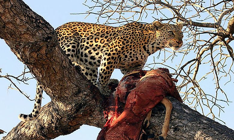 #1 African Leopard -