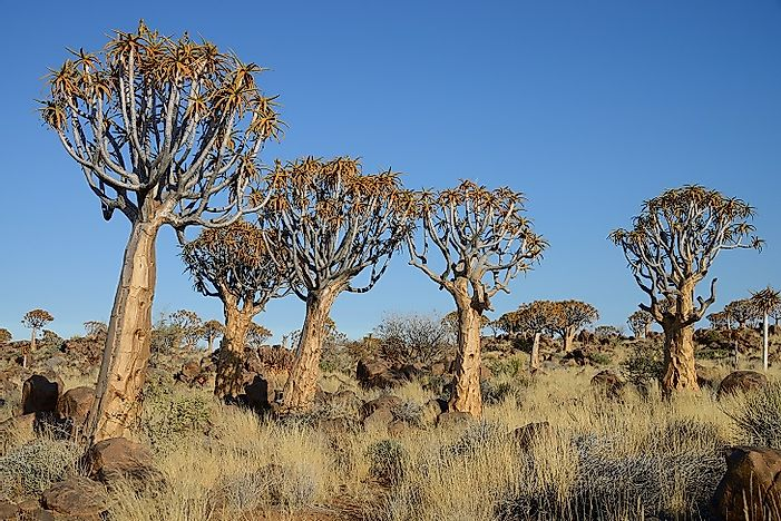 Quiver Tree Forest - Unique Places In Namibia