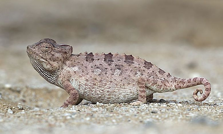 Native Reptiles Of Angola