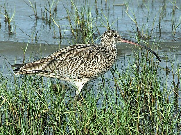 #4 Far Eastern curlew