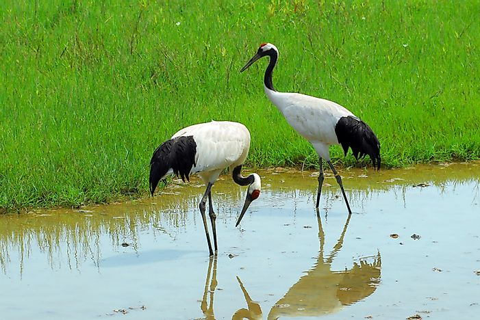 #10 Red-Crowned Crane