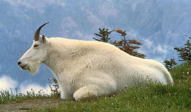 #7 Mountain Goat