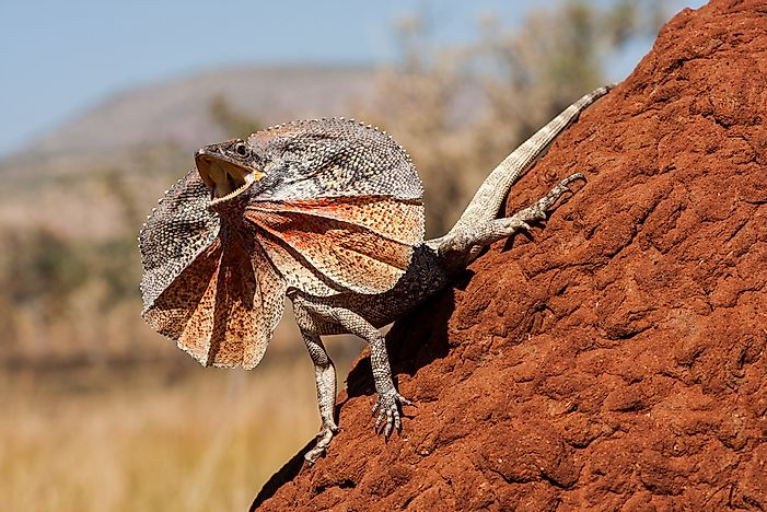 #2 Frilled-necked Lizard