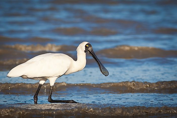 A royal spoonbill in Australia.