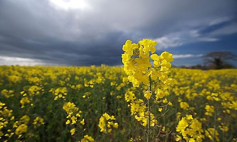 The World's Top Rapeseed Producing Countries