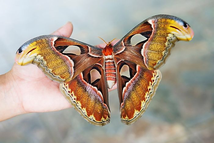 What Is The Largest Moth In The World?