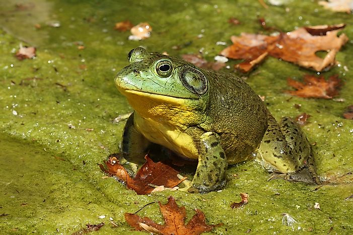 #7 North American Bullfrog - 119 decibels